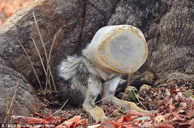 Голова вовка застрягла у пластиковому контейнері