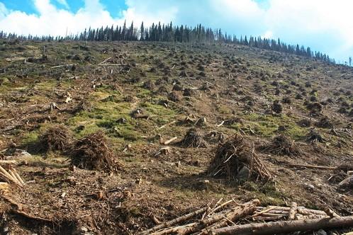 Амністія для «чорних» лісорубів: в Україні закривають кримінальні справи про незаконну вирубку лісу