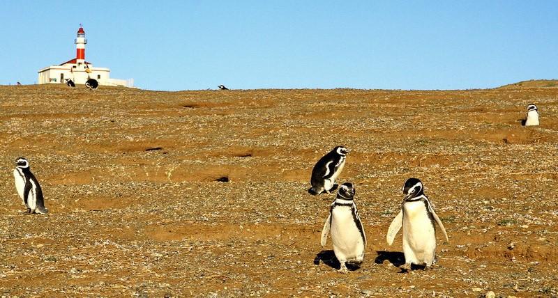 Магелланские пингвины