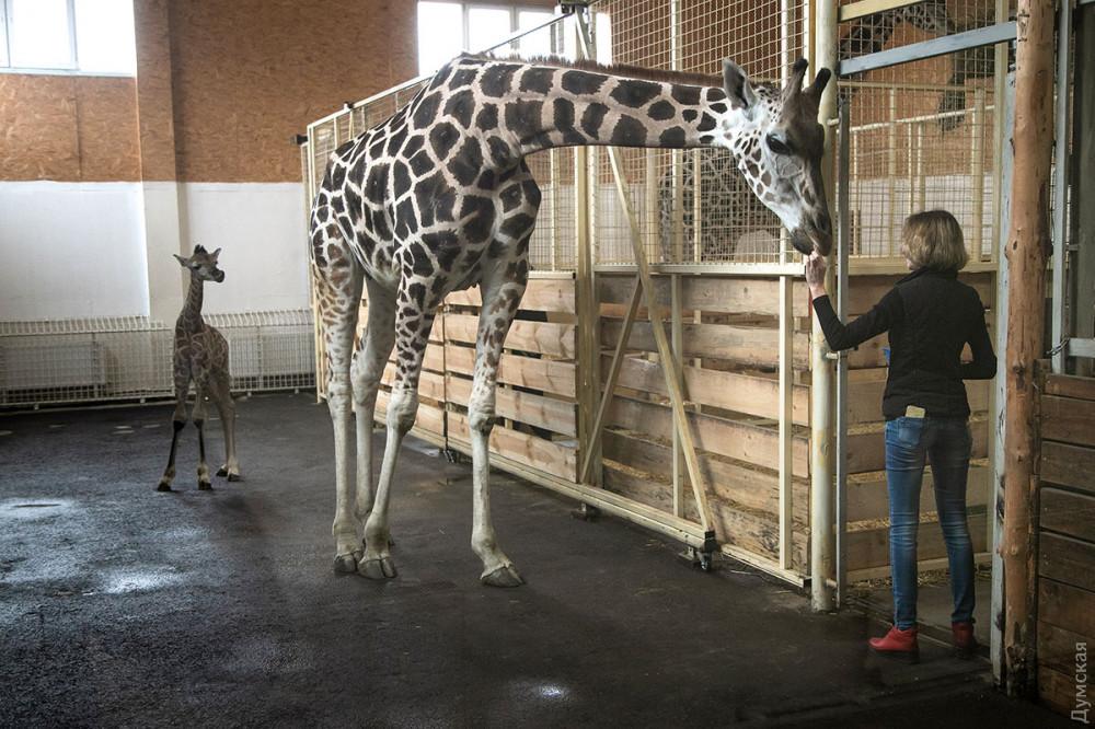 жирафеня Арсентій