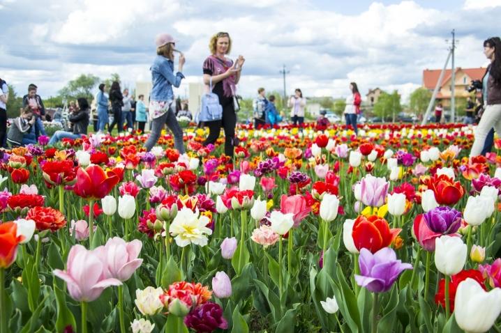 Мамаївка тюльпани