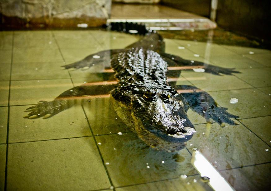 крокодил Вася