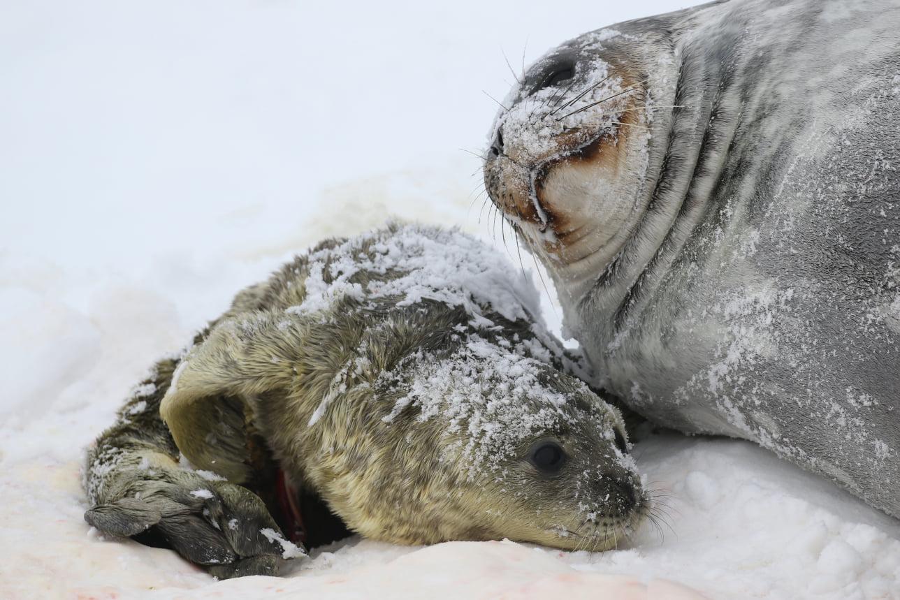 новонароджені тюленя