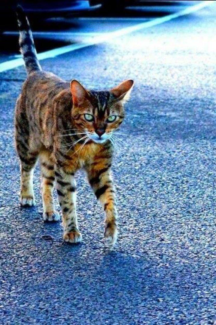 Бенгальський кіт на ім'я Пол