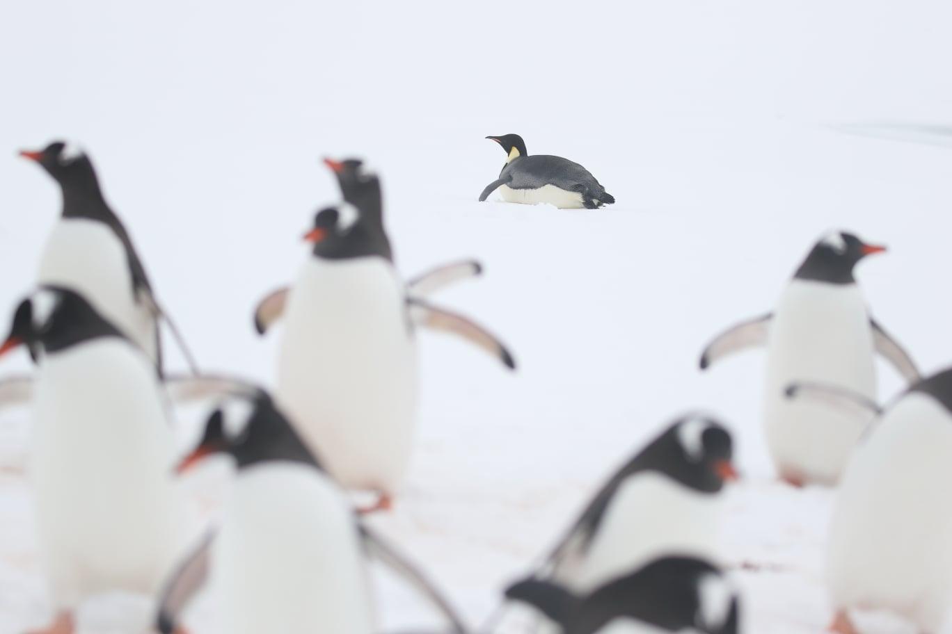 імператорський пінгвін