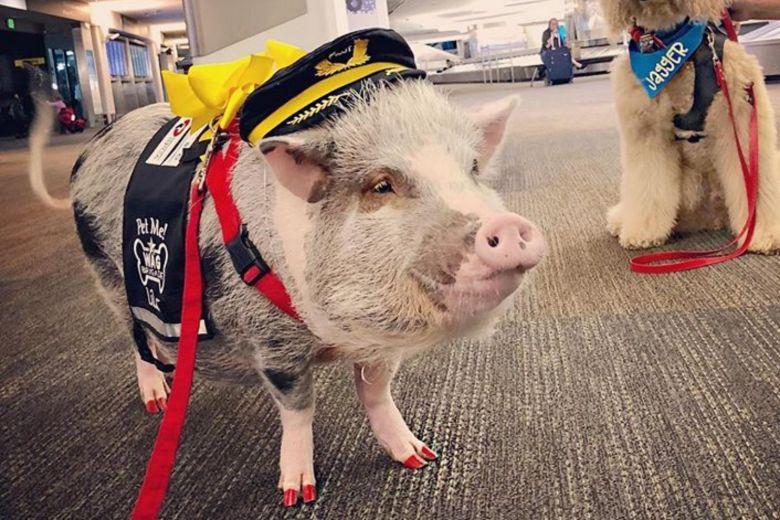 свиня аеропорт