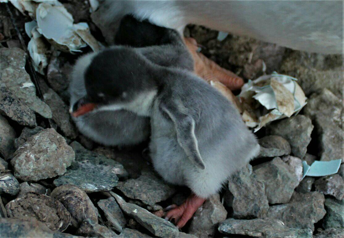 народження пінгвінів