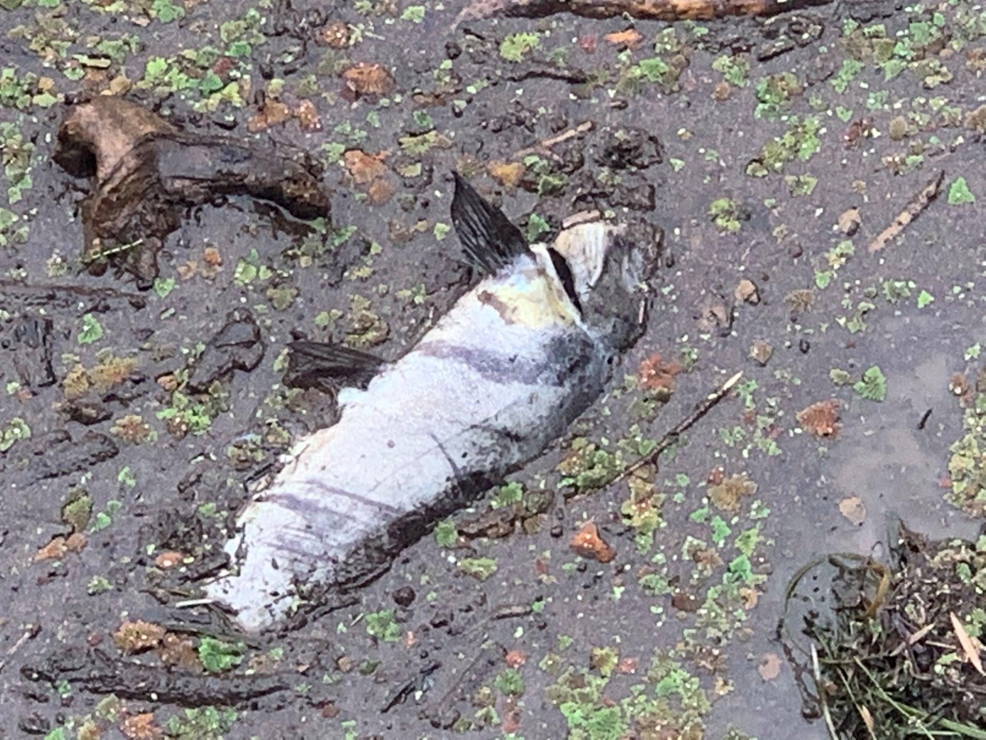 Сотні тисяч риб загинули через попіл після пожеж в Австралії