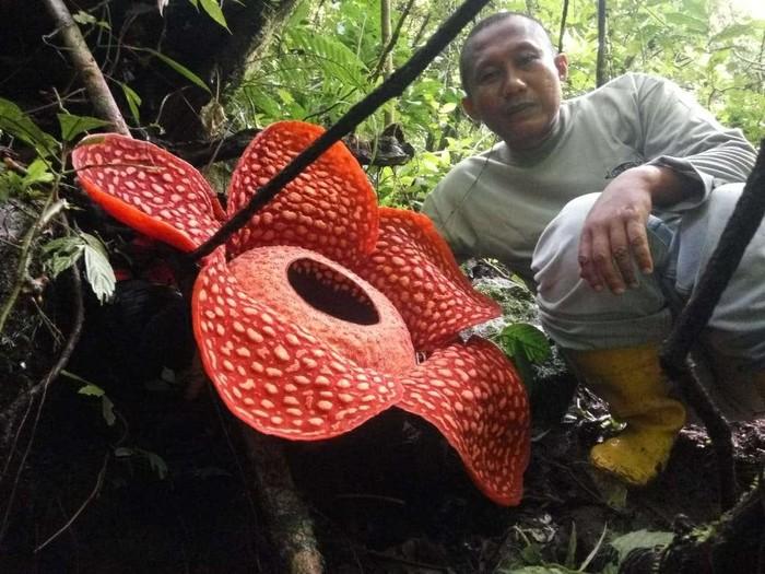 В Индонезии нашли самый большой в мире цветок