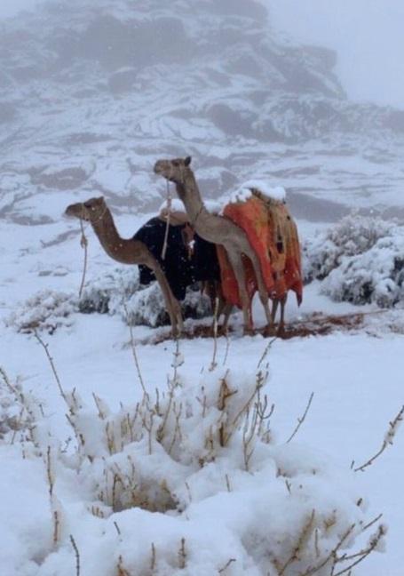 верблюд снег
