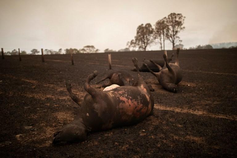 австралия погибшие животные