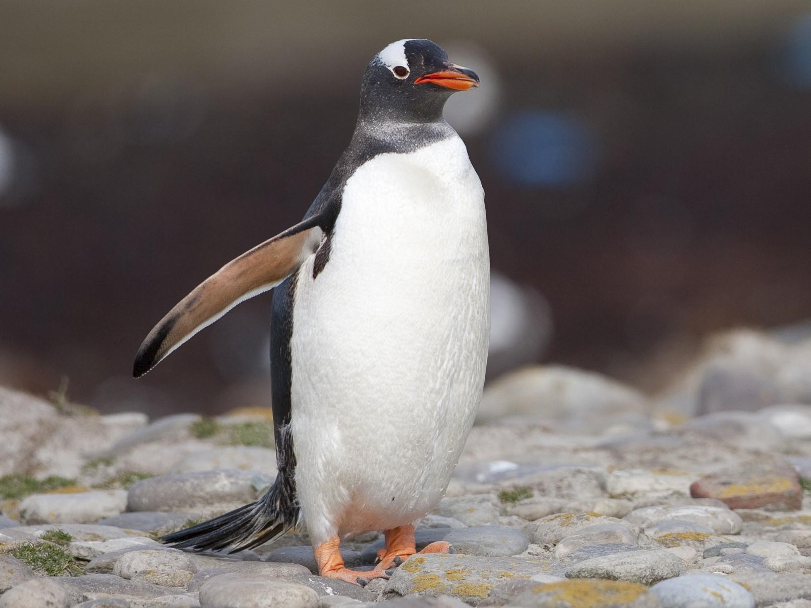 пінгвін Gentoo