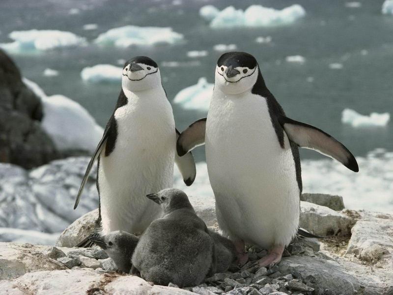 пінгвін з ремнем