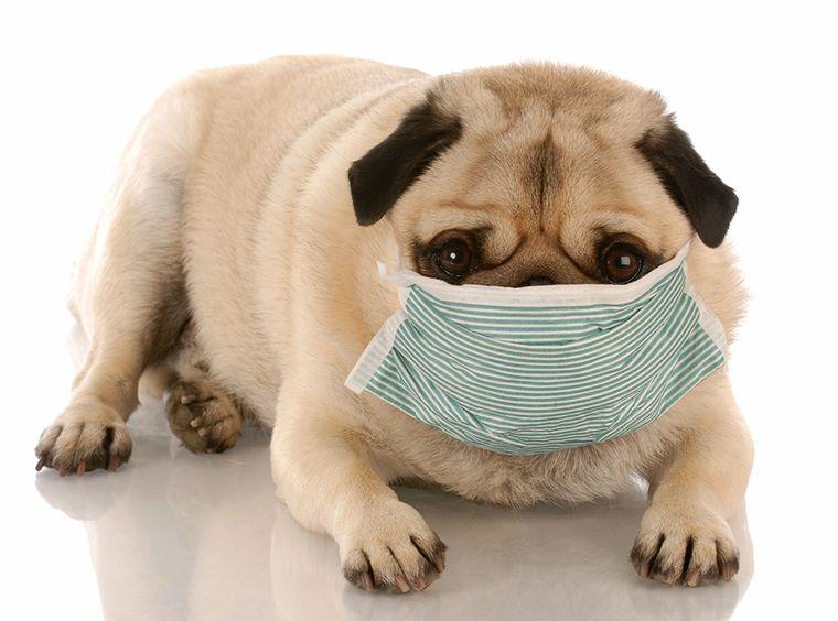 собака коронавирус