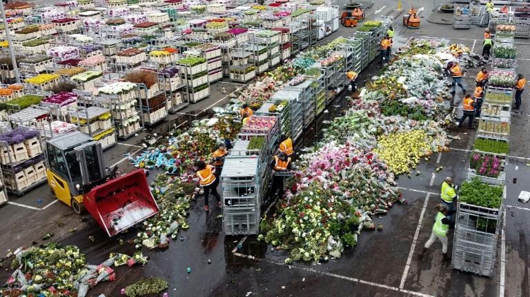 нідерланди тюльпани викинули