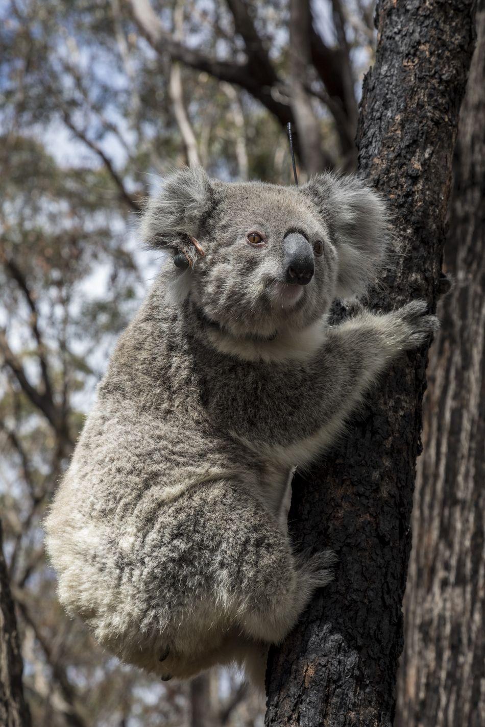 коали Австралія