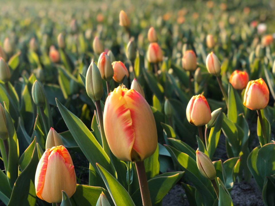 тюльпани співоче поле