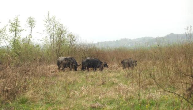 Долина нарцисів буйволи