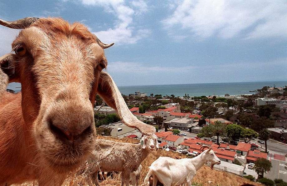 У Каліфорнії стадо з 200 кіз вчинило набіг на місто