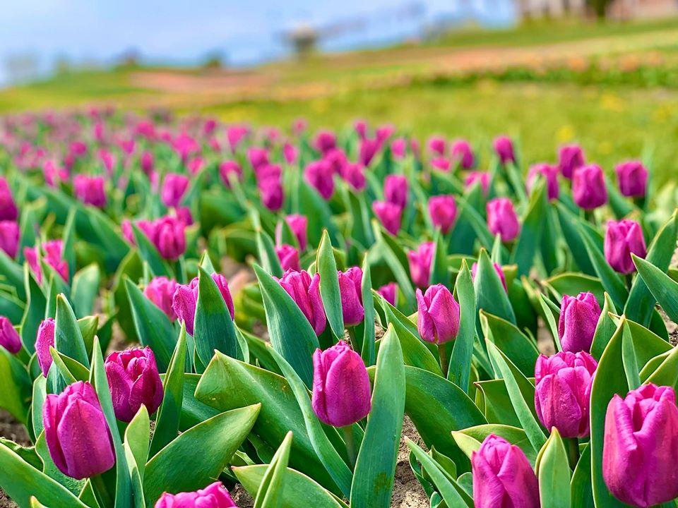 Добропарк тюльпани