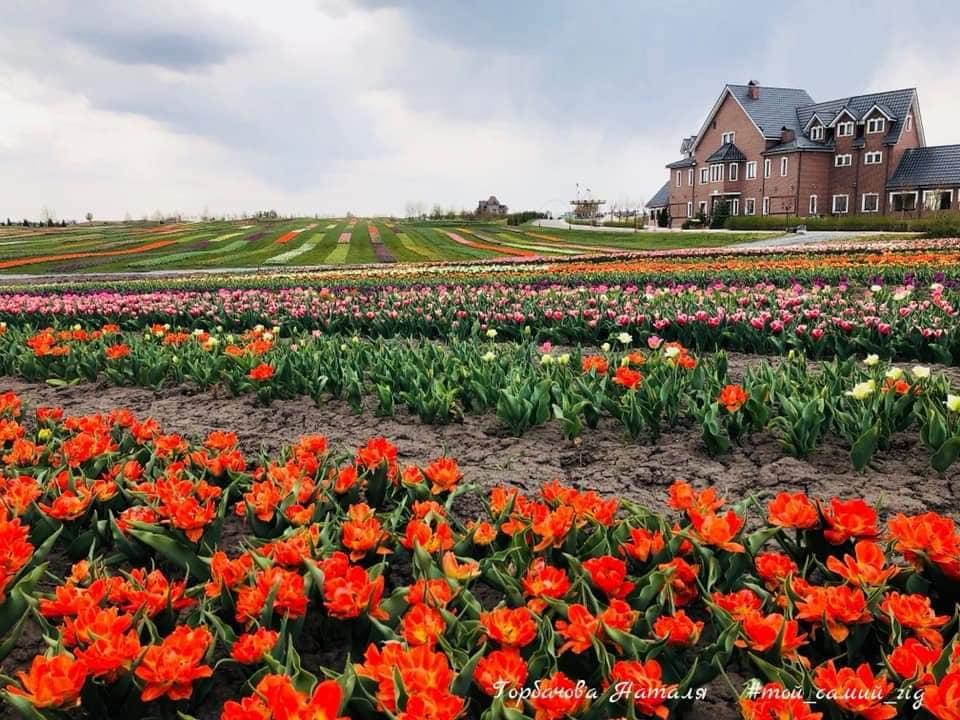 В парке под Киевом зацвели 1 миллион тюльпанов: фото | Рубрика