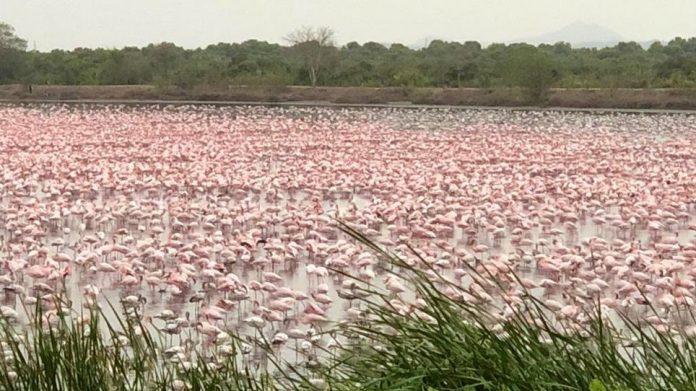 рожеві фламінго