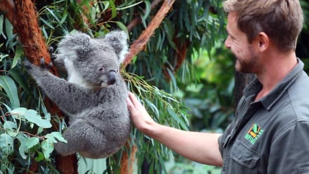 перша коала австралія