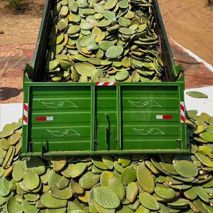 У Мексиці почали випускати екошкіру з кактусів