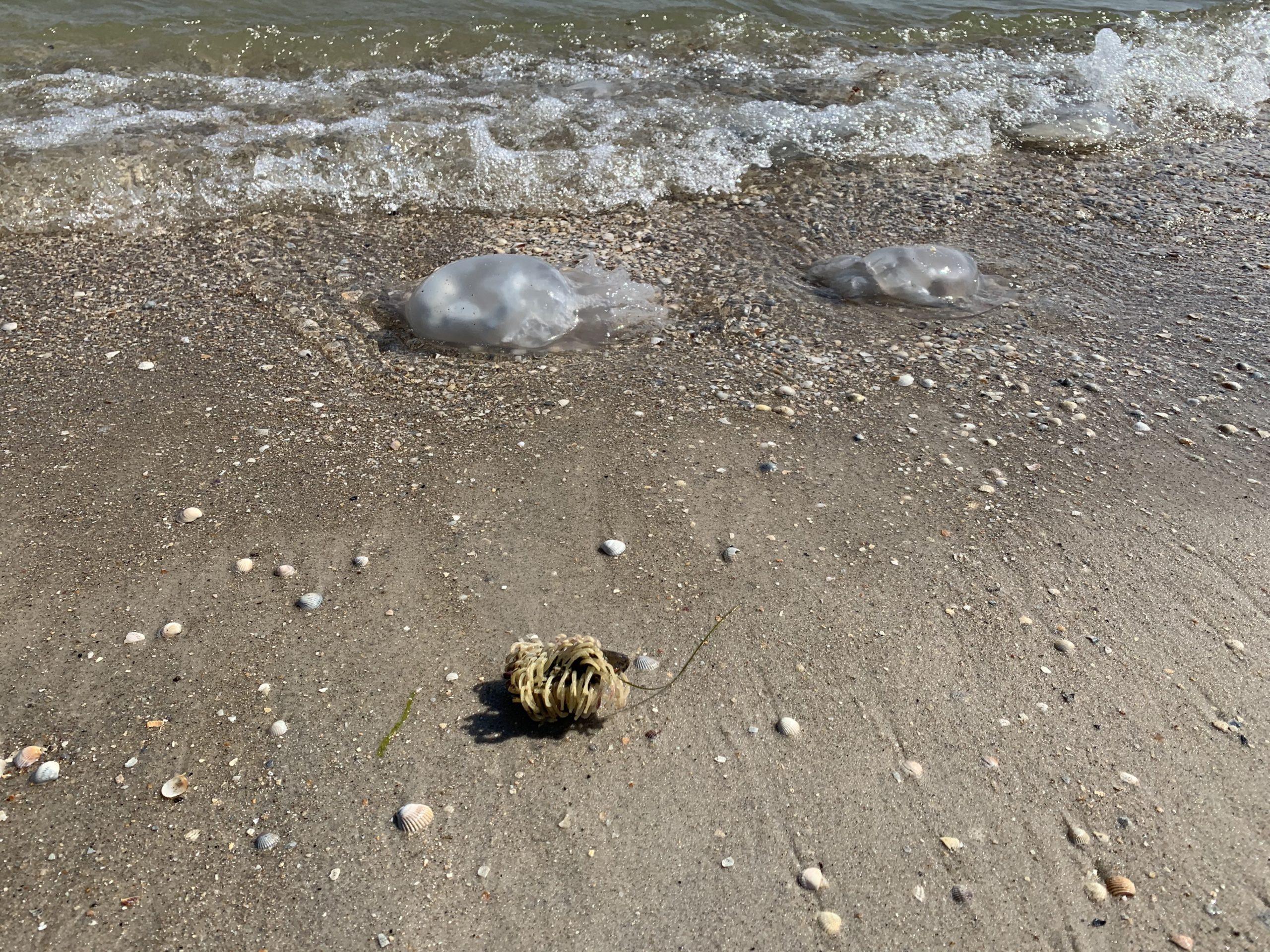 медузы бердянск