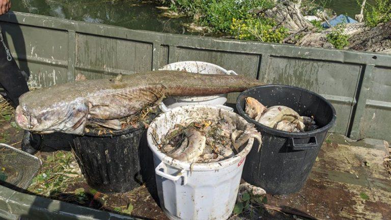 масова загибель риби