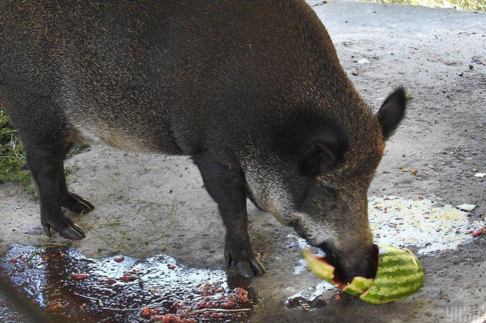 Кавуновий тиждень Київський зоопарк
