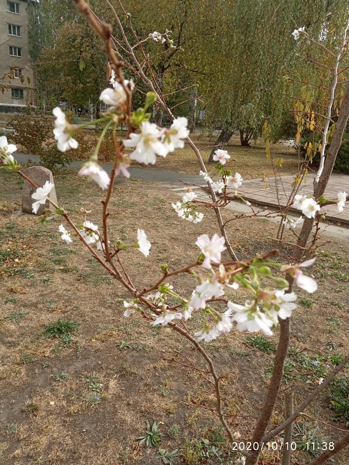 Природна аномалія: на Донеччині розквітла сакура