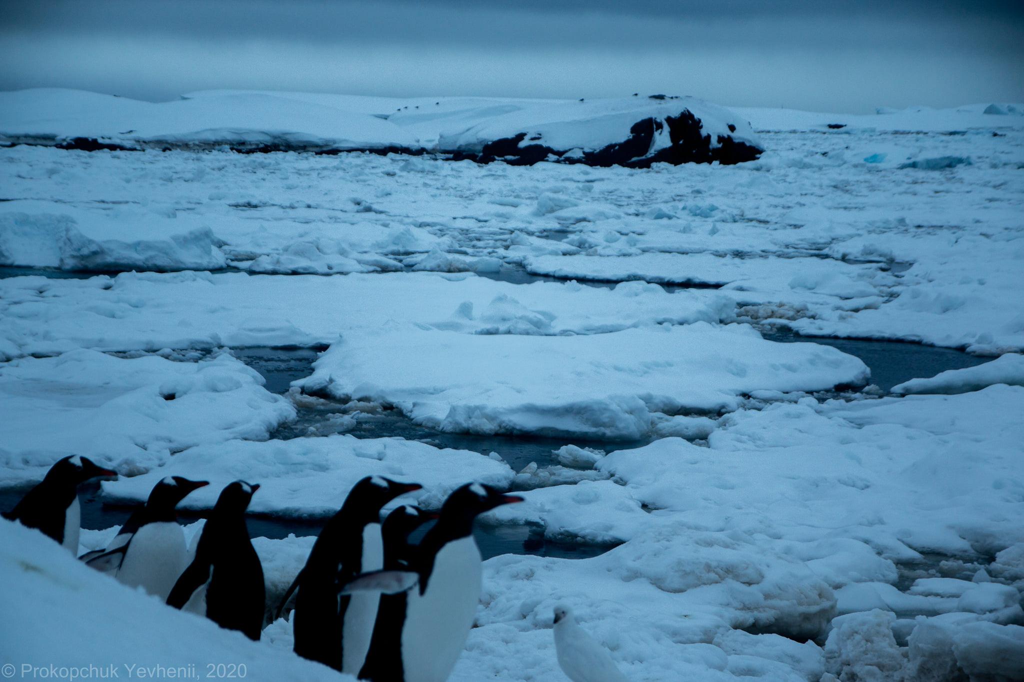 У льодовій пастці: вже п'ятий день пінгвіни на острові Галіндез залишаються без їжі