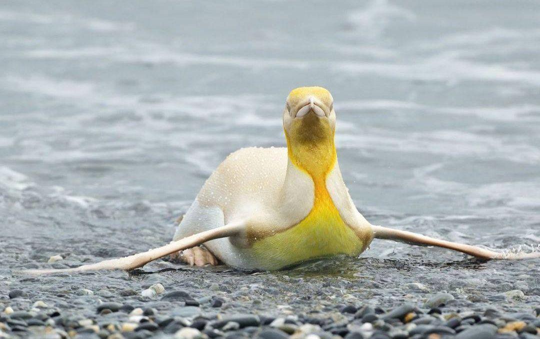 Вперше в історії в об'єктив камери потрапив жовтий пінгвін: фото