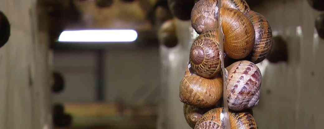 На Миколаївщині під час карантину почали виробляти косметику зі слизу равликів