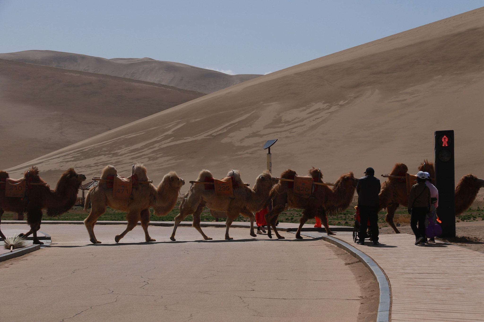 перший у світі світлофор для верблюдів