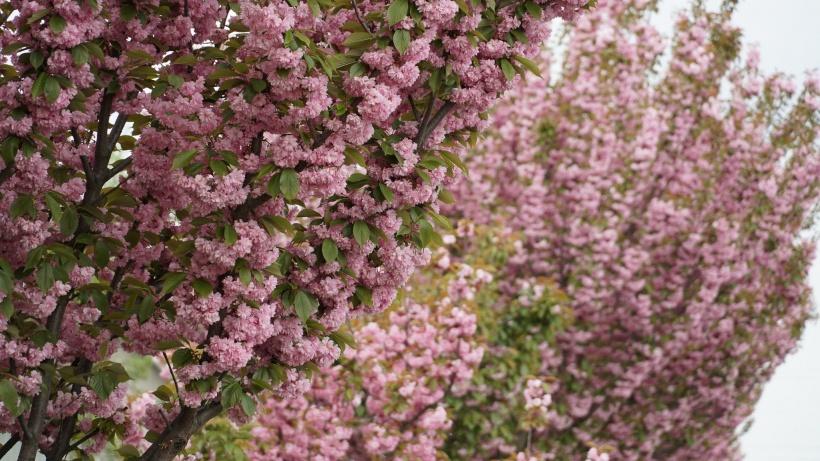 В Мукачеві квітне найдовша алея сакур на Закарпатті