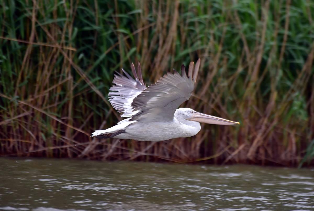 пелікани дунай