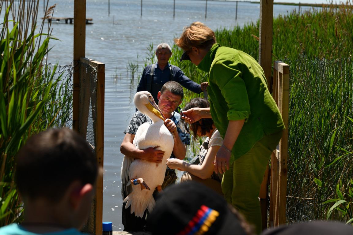 Украинские орнитологи впервые занялись реабилитацией пеликанов