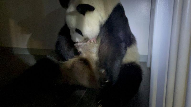 У зоопарку Токіо народилася двійня великих панд