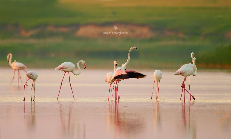 Зграя рожевих фламінго пролетіла над Одещиною