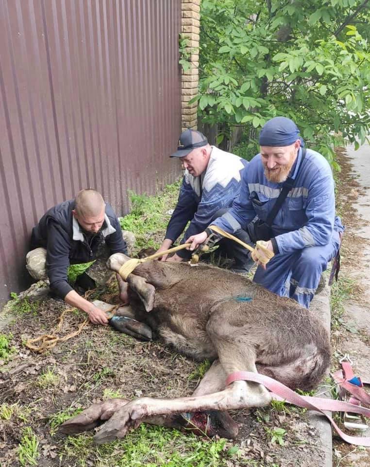 Під Києвом автомобіль збив лося, тварина сильно постраждала