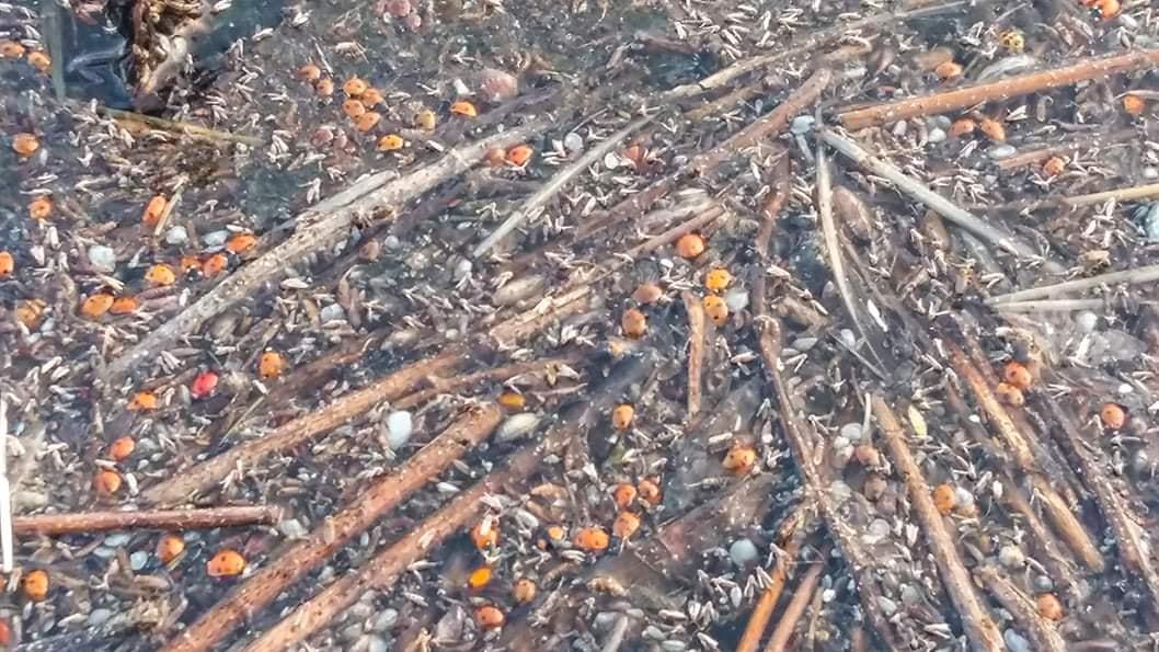 На Одещині у національному природному парку загинули сотні тисяч сонечок