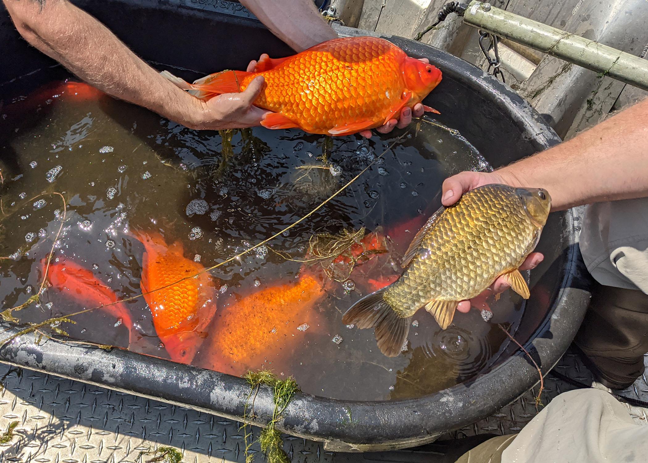 У США золоті рибки аномально виросли