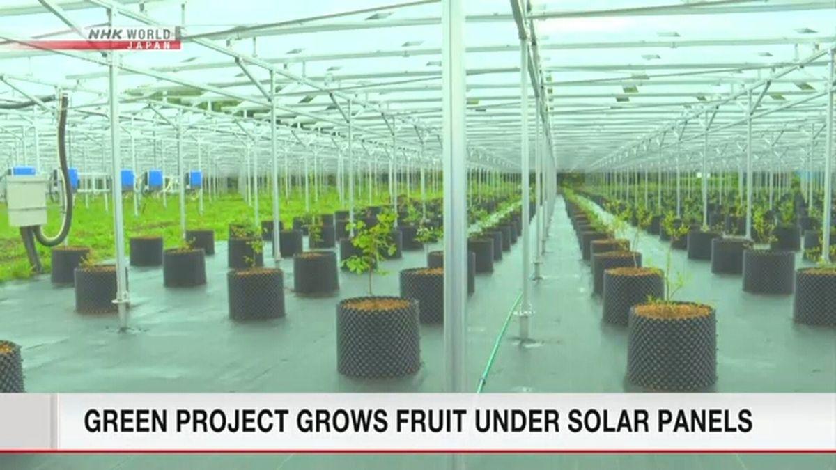 В Японії вирощують фрукти під сонячними панелями