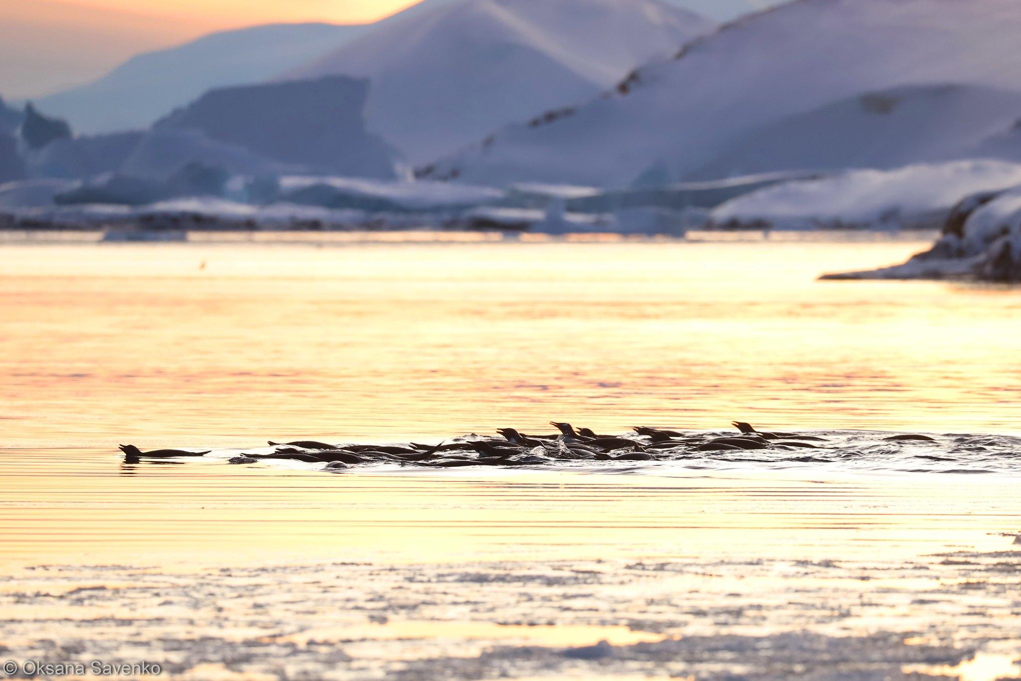 рекордне скупчення пінгвінів