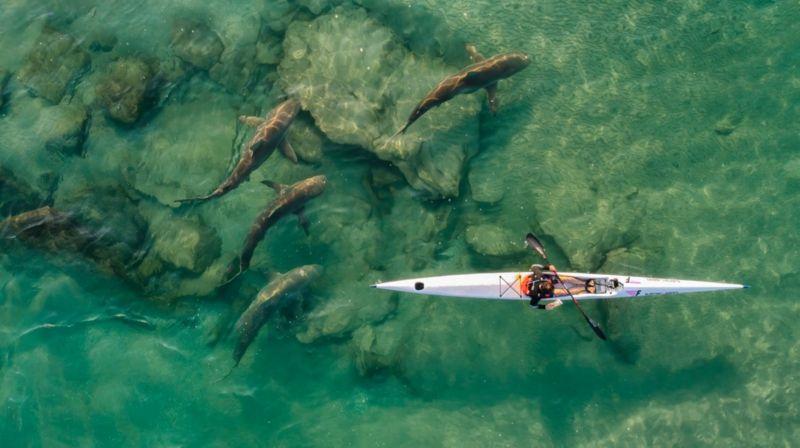 група акул