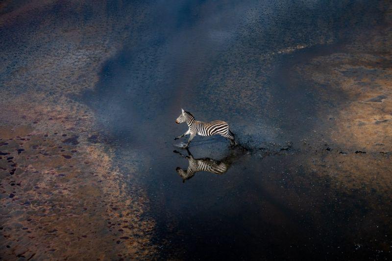 зебра кенія