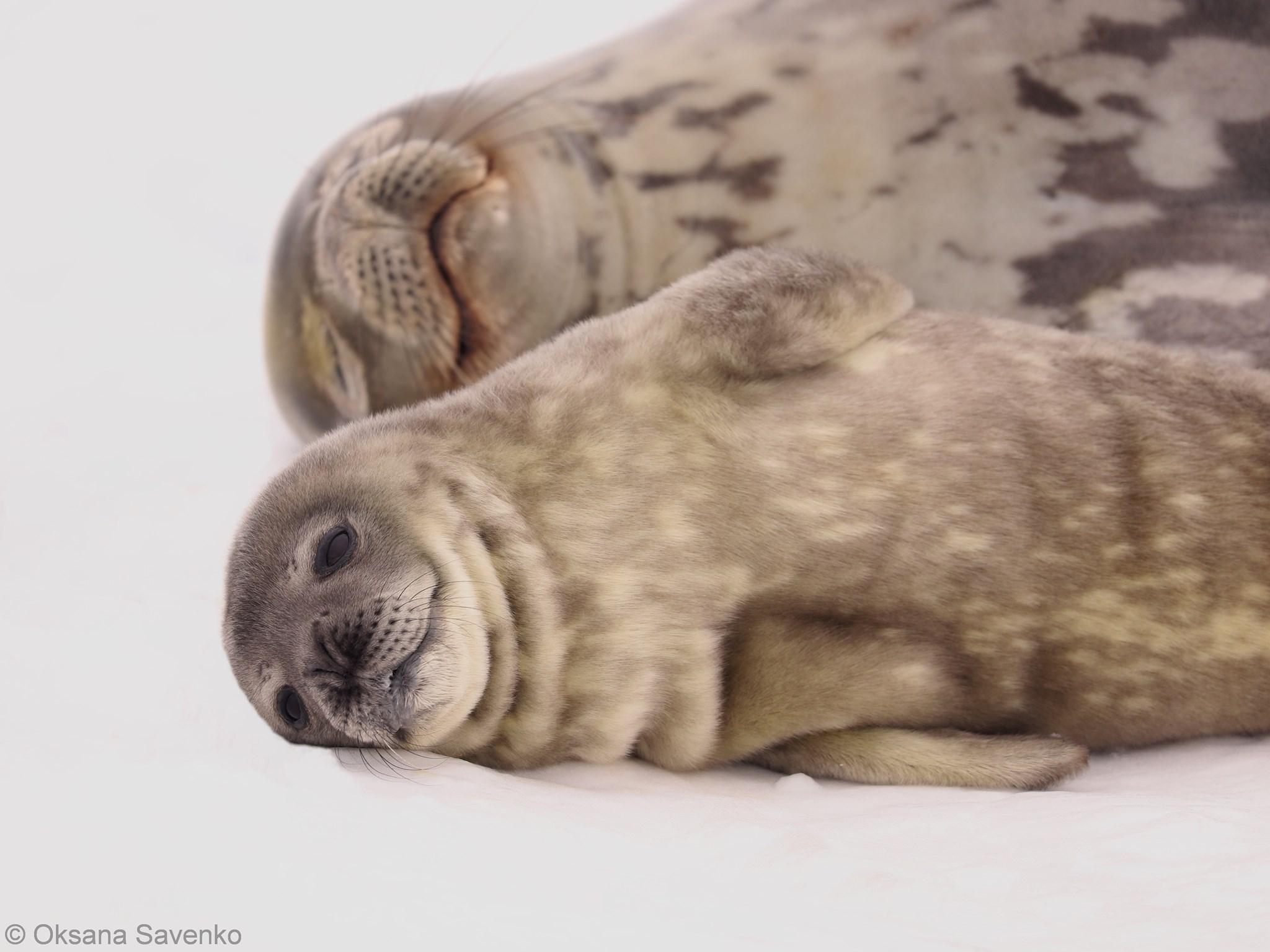 Поблизу Академік Вернадський народилися тюленята