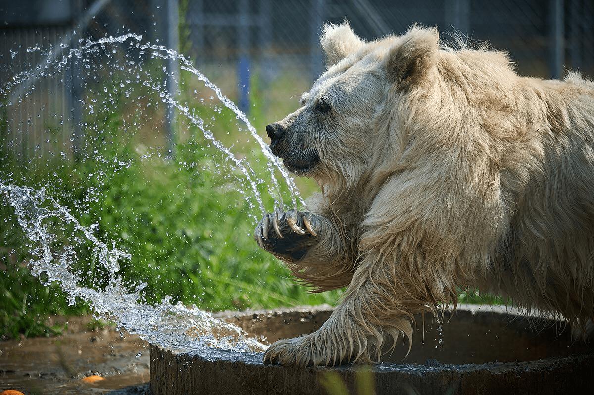 Тварини на пенсії: рішення порятунку ведмедів після